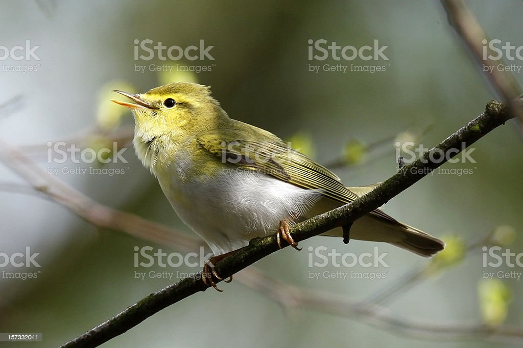 Wood Warbler (Phylloscopus sibilatrix) stock photo