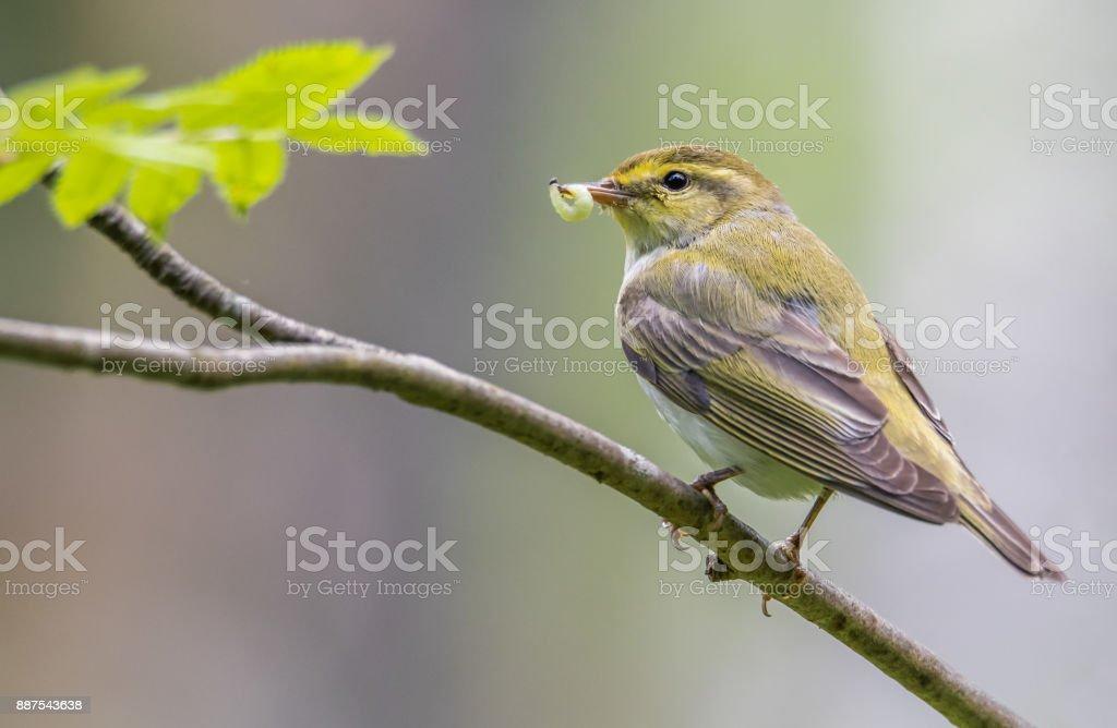 Wood warbler stock photo