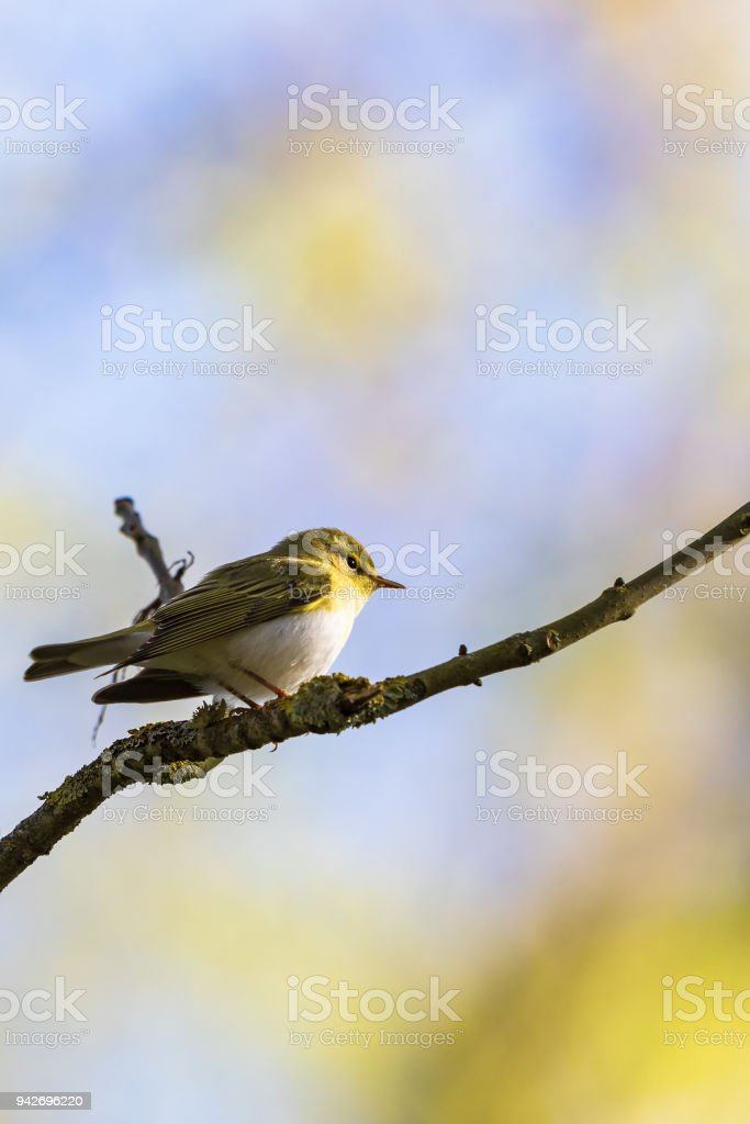Wood Warbler sitting on a tree branch in the forest stock photo