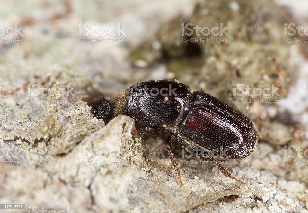 Woodborer, extreme close-up stock photo