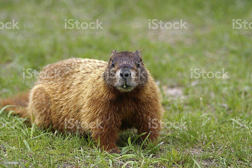 Woodchuck royalty-free stock photo
