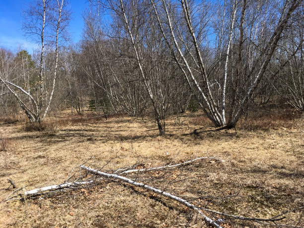 IMG_7353 Wooded area with birch trees in New England stock photo