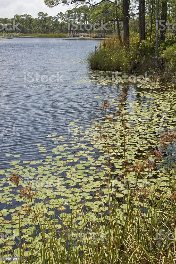 Wooded shoreline with water lilies. royalty-free stock photo