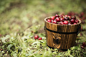 Small barrel made of wood filled with cherry fruit