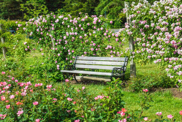 Wooden bench among the roses stock photo