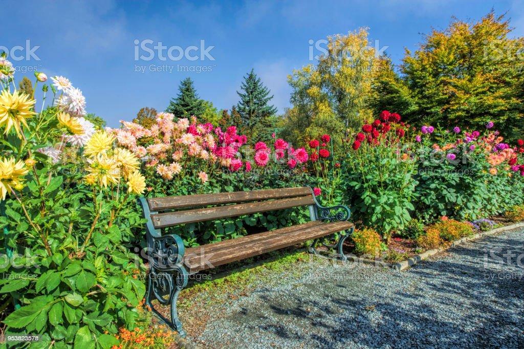 Wooden bench between flowerbed of dahlia in sunlight in park stock photo
