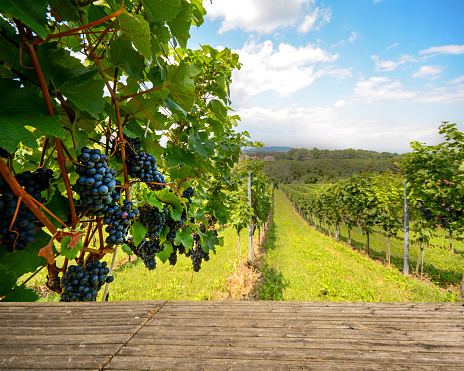 Wooden bench in vineyard with red wine grapes