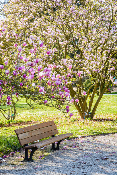 Un banc en bois sous un arbre de Magnolia fleurissant dans un jardin public à la fin d'une journée ensoleillée de printemps. - Photo