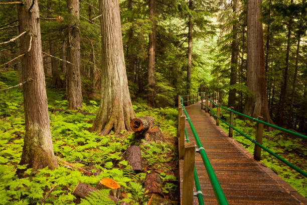 wooden boardwalk in mt revelstoke national park, british columbia - british columbia glacier national park stock pictures, royalty-free photos & images