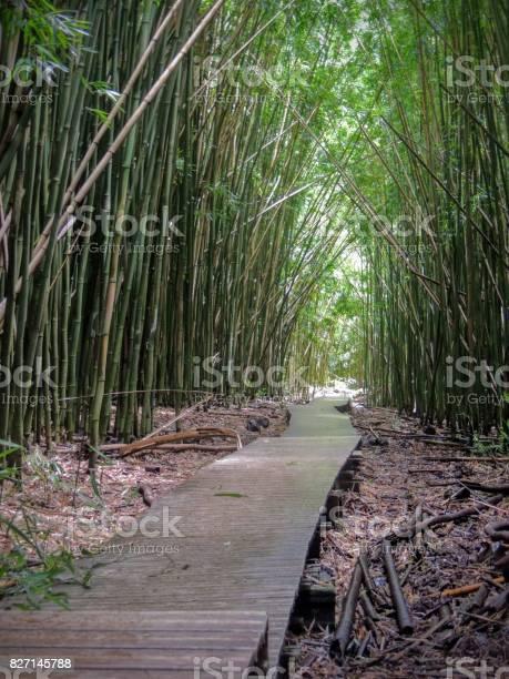 Photo of Wooden boardwalk path through dense bamboo forest, leading to famous Waimoku Falls. Popular Pipiwai trail in Haleakala National Park on Maui, Hawaii, USA