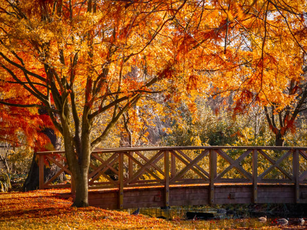 wooden bridge in bushy park with autumn scene - richmond park stock photos and pictures