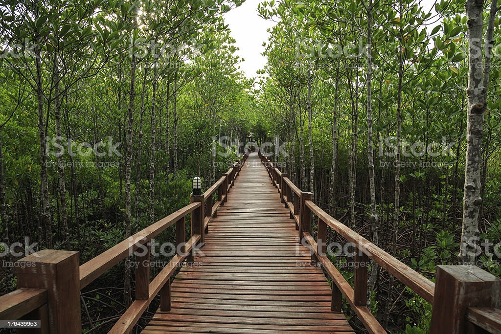 Wooden bridge in the mangrove forest. royalty-free stock photo