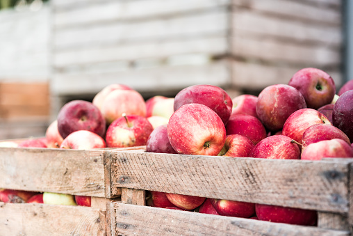 Wooden crates filled with apples after harvest on apple farm, ready for juice press. Ecological agriculture concept