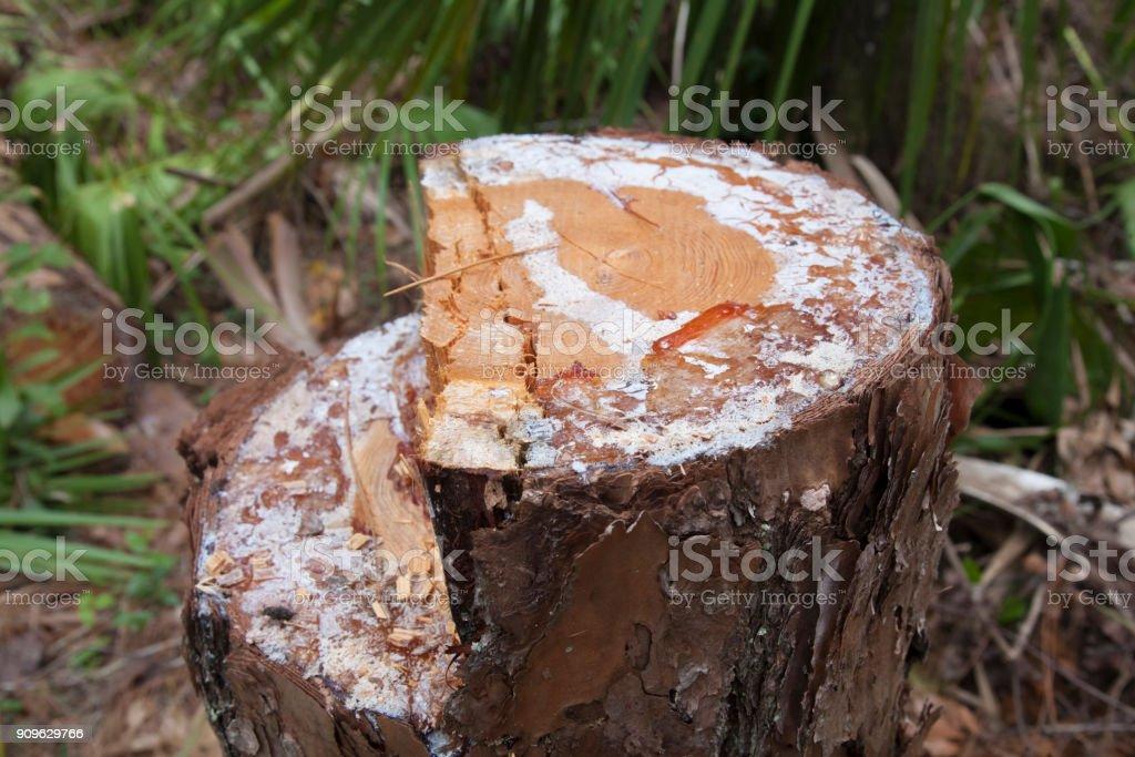 Holz schneiden Textur. Gesägte Holz mit Harz. – Foto