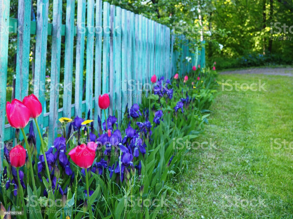 Wooden fence and flower bed with pink tulips and violet irises zbiór zdjęć royalty-free