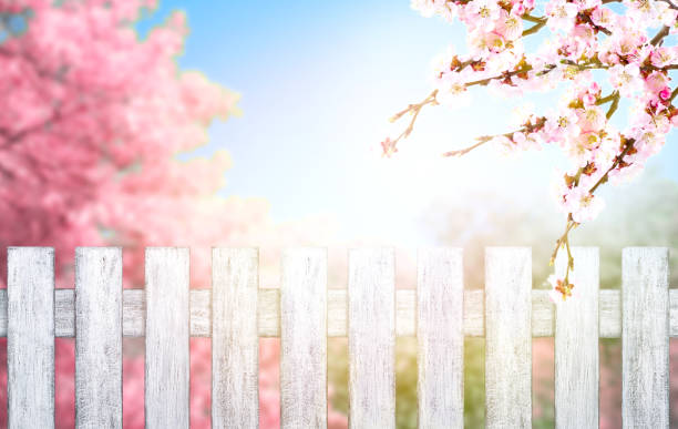 Wooden fence in Shabby Chic style and pink spring trees with sakura blossoming branch against the blue sky stock photo