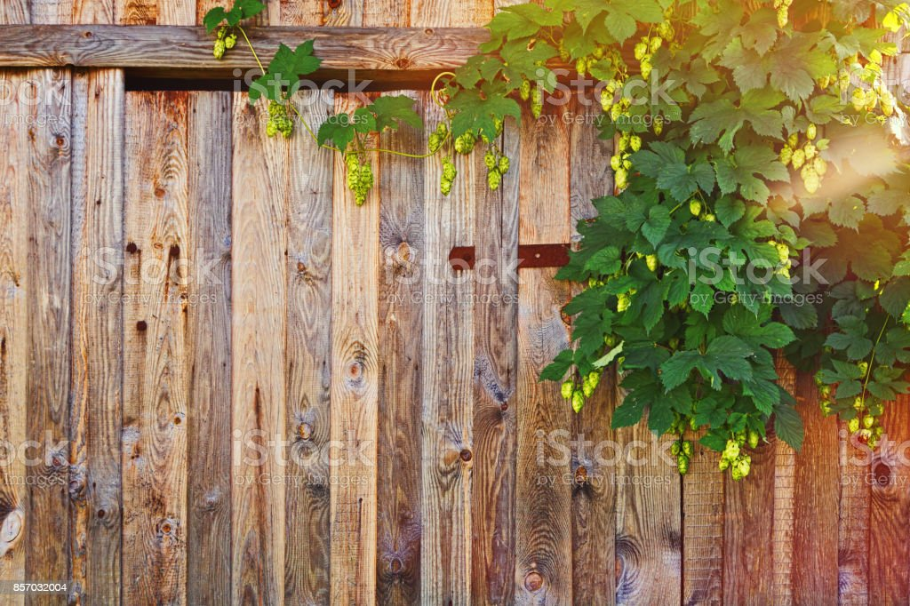 Wooden fence with hop bush stock photo