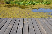 Wooden floor in foreground and surface of a pond covered by green water plants in the upper portion of the image. Rustic backdrop.