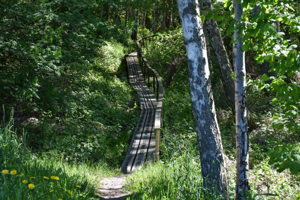 Wooden footbridge in a green forest stock photo