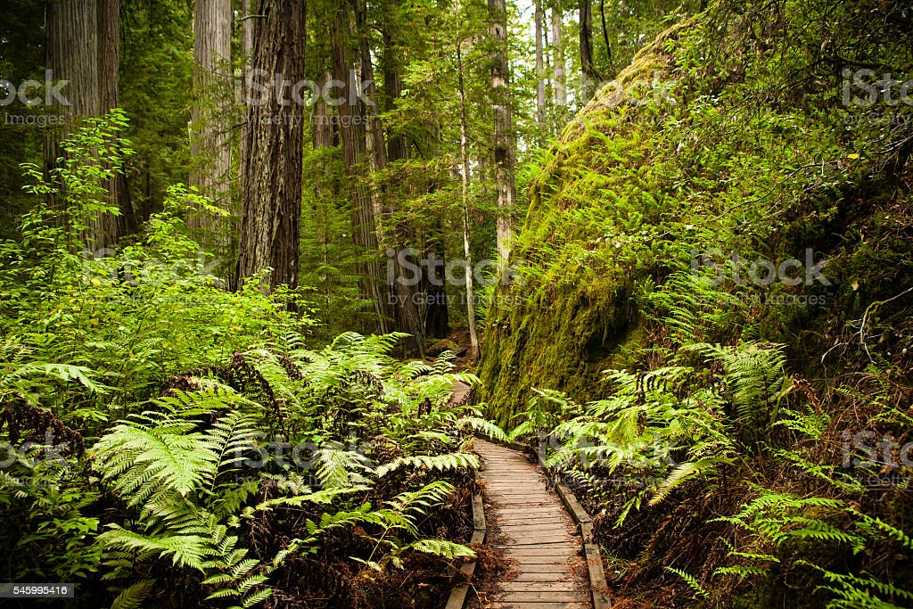 Wooden Footpath In Redwood Forest, Montgomery Woods State Natural Reserve stock photo