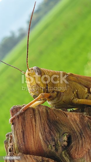 A wooden grasshopper is perched on the border of a log around a green rice field after it rains in the afternoon.