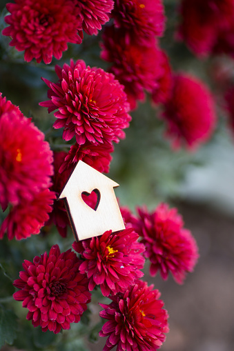 Wooden house icon with hole in form of heart surrounded by flowers of red chrysanthemum. St. Valentine day romantic floral composition.