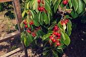 Wooden ladder and branches with bunches of ripe white cherries and in a  orchard Selective focus