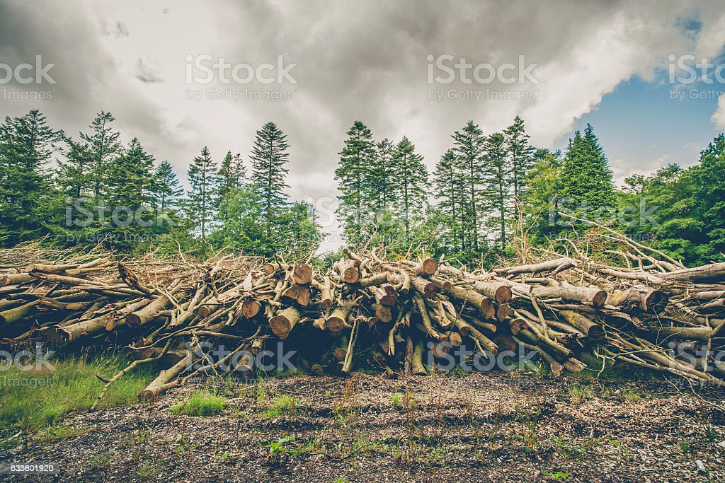 Wooden logs and branches in a pine forest stock photo