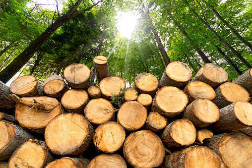 Trunks of trees cut and stacked in the foreground, green forest in the background with sun rays