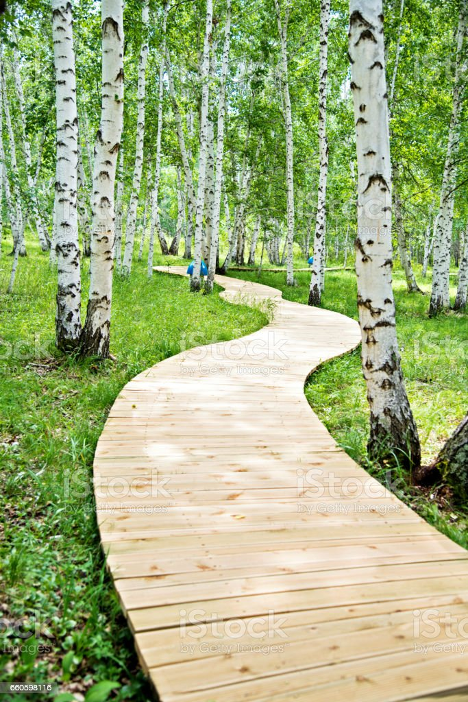 Wooden path through the birch forest stock photo