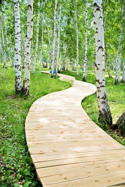 Wooden path through the birch forest – Foto