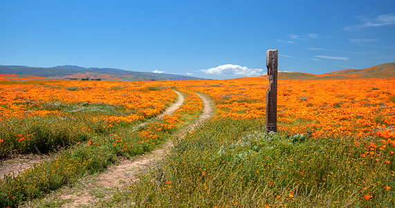 California Golden Poppies cover the hills of Antelope Valley,California