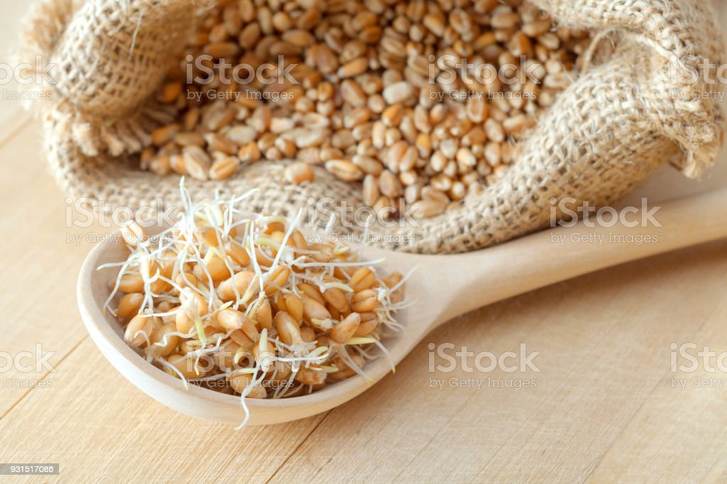 Wooden spoon of sprouted wheat seeds and sack of grains, nutrition healthy food. stock photo