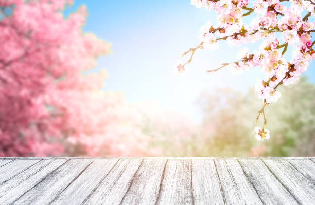 Wooden table in Shabby Chic style and pink spring trees with sakura blossoming branch against the blue sky stock photo