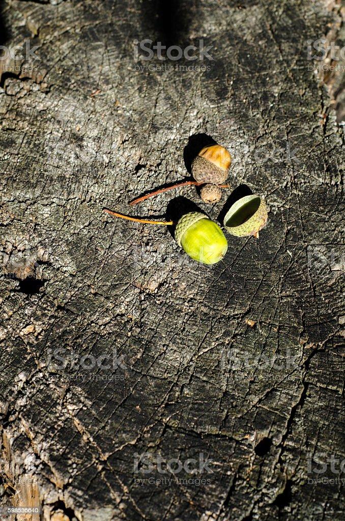 Wooden texture of cut tree trunk and two acorns. photo libre de droits