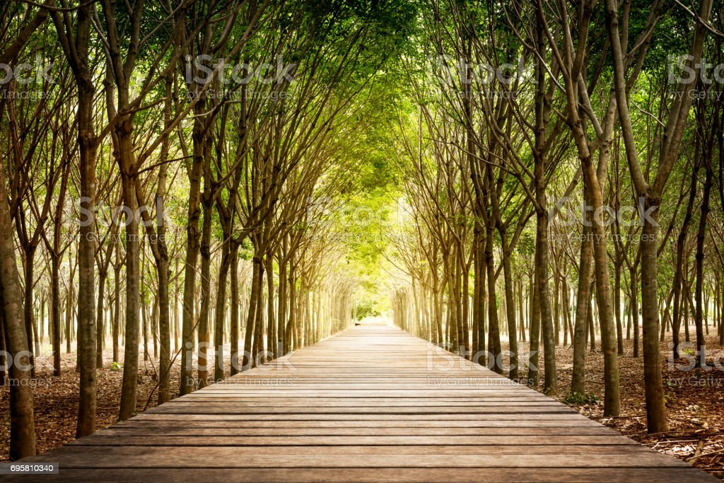Wooden walkway and rubber tree stock photo
