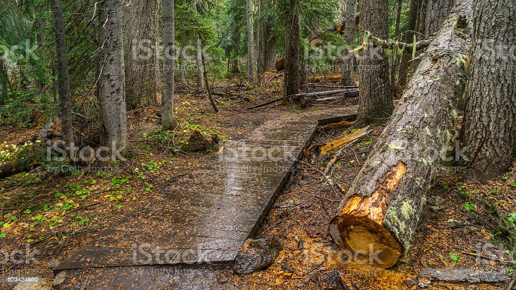 Wooden walkway between the age-old spruces stock photo