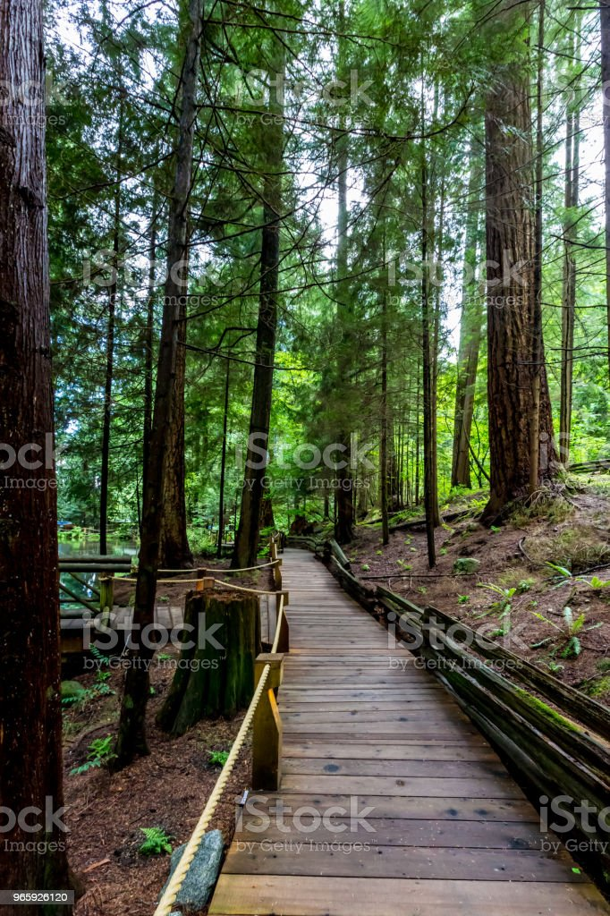 A Wooden Walkway in a Primeval Rain Forest. - Royalty-free American Arborvitae Stock Photo