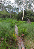 A narrow wooden walkway through overgrown reedy grasses and and ferns, heading into gum tree forest. Near Katoomba Falls Reserve, NSW, Australia.