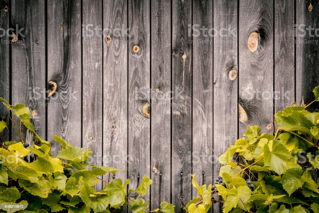 wooden wall with green leaves of grapes stock photo