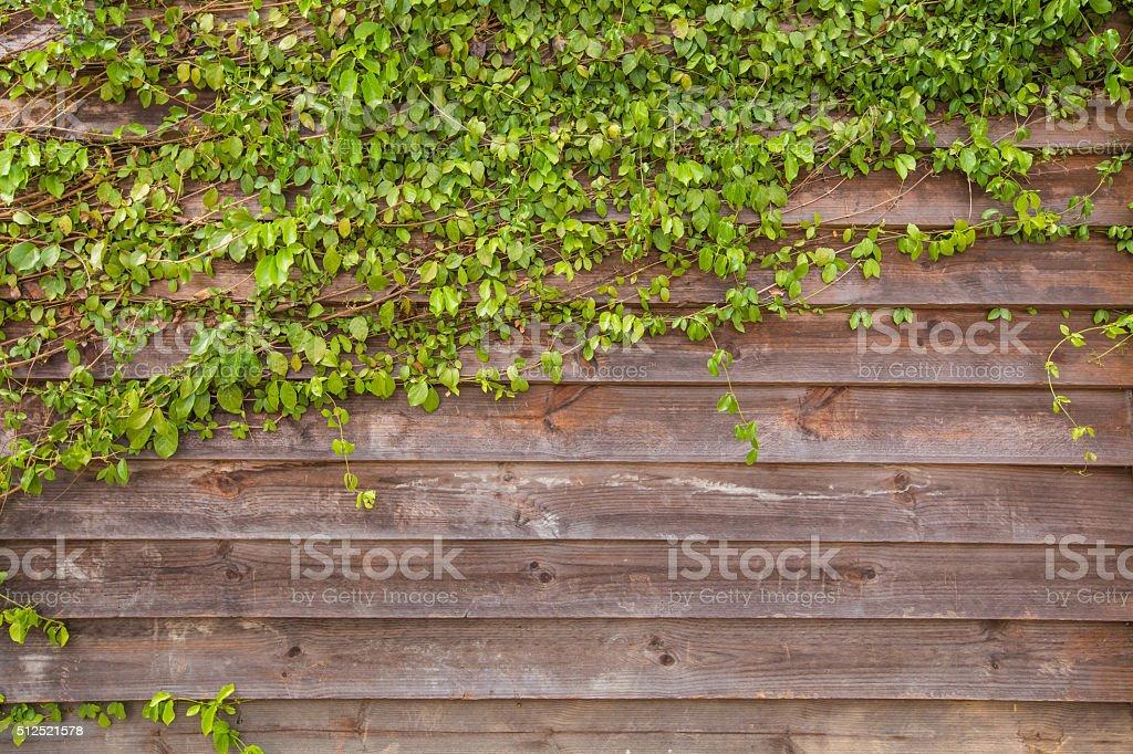 Hölzerne Wand für Hintergrund mit Efeu – Foto