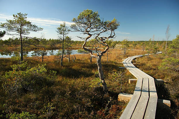 Wooden  way  from marsh  to forest. stock photo