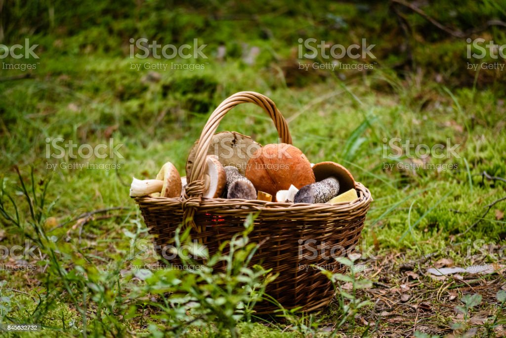 wooden woven basket in front of forest heather with mushrooms stock photo