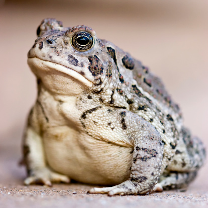 Woodhouses Toad Stock Photo - Download Image Now