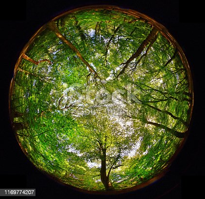 Fish eye 360 degree view of an English ancient woodland canopy in late summer