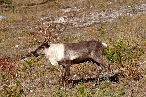 Woodland Caribou along Alaska Highway in British Columbia stock photo