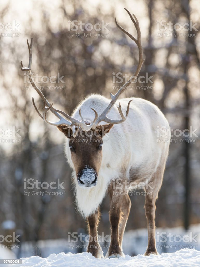 woodland caribou stock photo