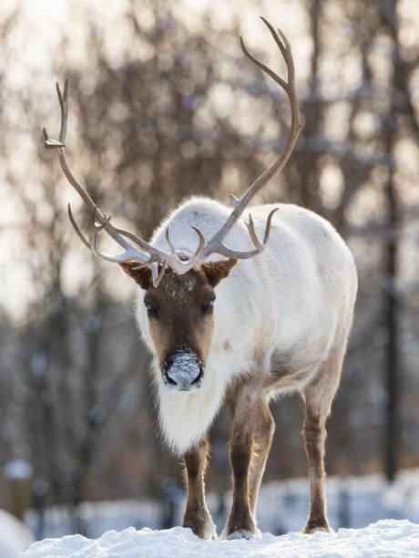 woodland caribou - rentier stock-fotos und bilder