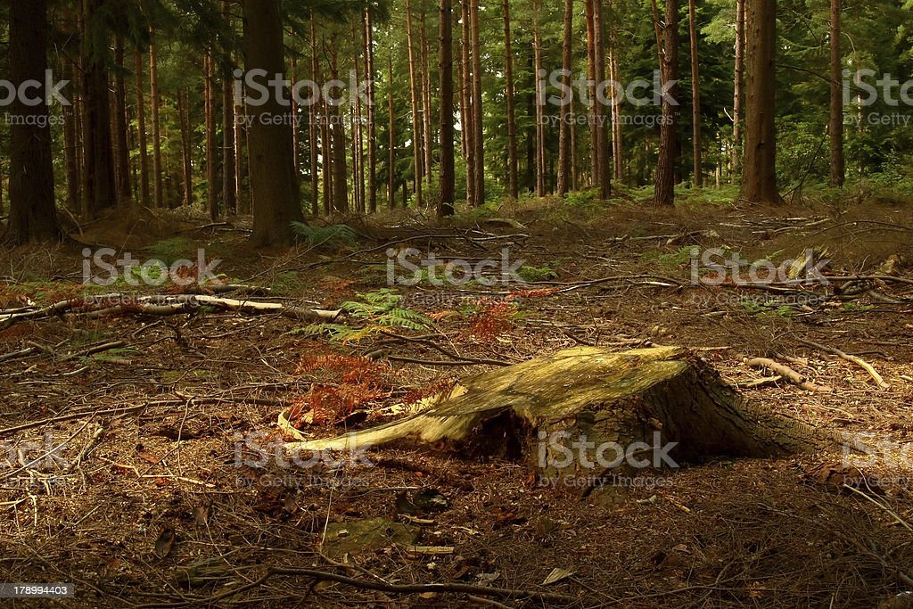 Woodland Clearing royalty-free stock photo