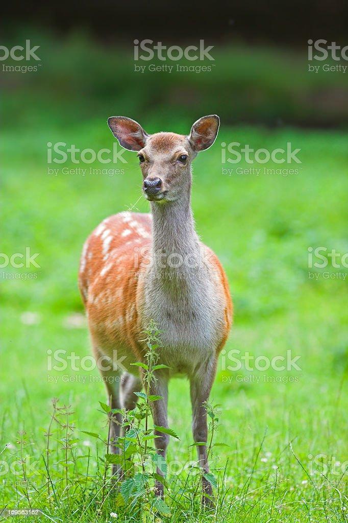 Woodland deer Lizenzfreies stock-foto